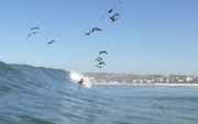 Surf-and-Pelicans