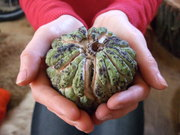 Annona squamosa (also called sugar-apple, or sweetsop)