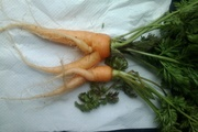 My home grown carrot lovers