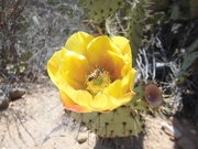 bee loves cactus blossom