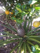 From the Garden - Pineapple