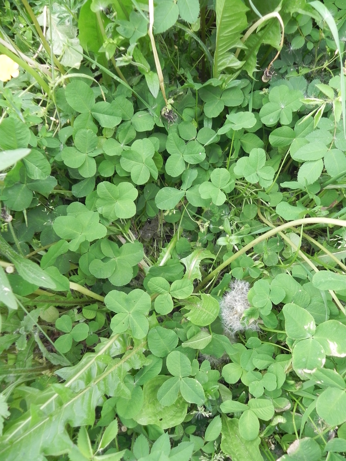 find_a_fourleaved_clover_by_morellagrysis