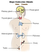 EndocrineGlands