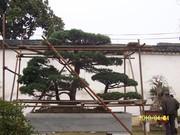 Large Bonsai tree in China