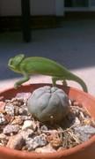 Baby Jumanji and sacred plant