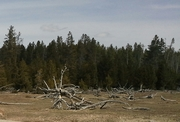Yellowstone field tree roots, April 2014
