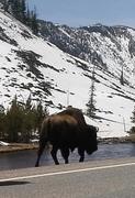 Bison Yellowstone April 20, 2014