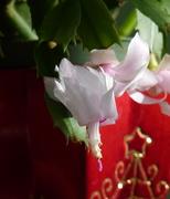 Karácsonyi kaktuszommal kívánok áldott, szép ünnepeket kedves mindnyájatoknak!