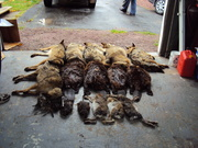 A good day on the trapline