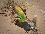 Bee-eater emerging from nest