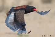 Bateleur...on the wing