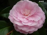 P1090532 dalia rosa