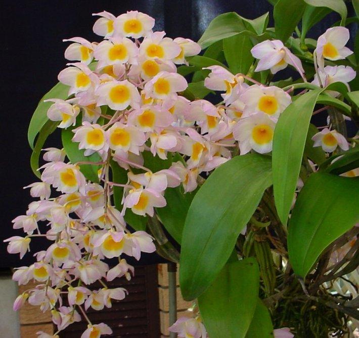 DendrobiumFarmerii-orquidea