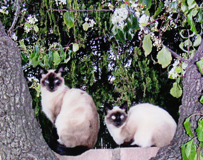 Siamese in the Apple Tree