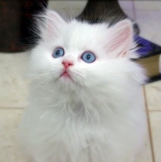 Kitty white and fluffy
