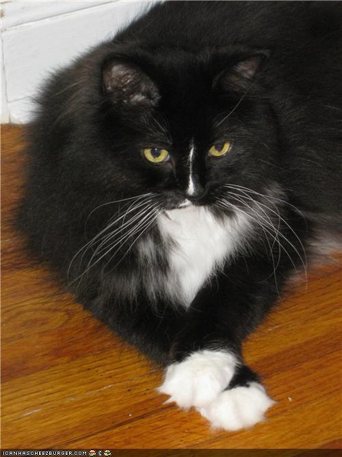 BW Cat-fold paws