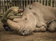 The last living male Northern White Rhino on Earth