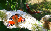 Two Peacock Butterflies