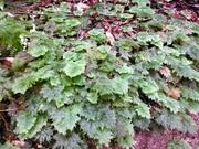 Hypnodendron kerrii (Umbrella Moss)
