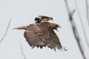 kingbird_hawk
