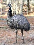 Emu Aussie