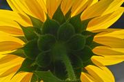 Sunflower, Mamomth
