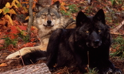 Fall Wolves