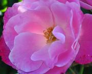 A Rose's Inner Light