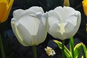 Tulip, Calgary