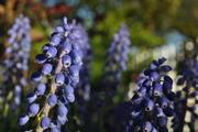 Hyacinth, Grape