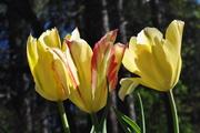 Tulip, Yellow Spring Green 3b
