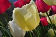 tulip, fields