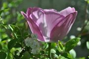 Tulip, Cracker