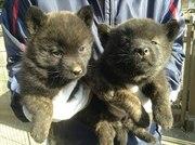 Little Akita pups