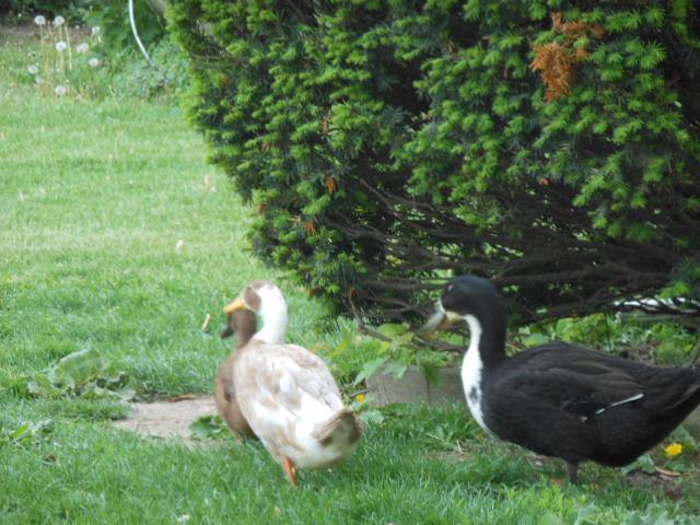 more ducks