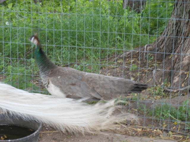 peacocks female