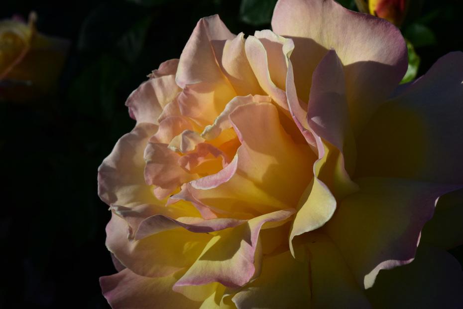 DSC_0020a Morning Rose