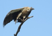 Witrugaasvoël, White-backed Vulture