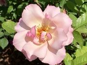 Roses, rosers i roserars