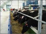 Cows_Arrive3