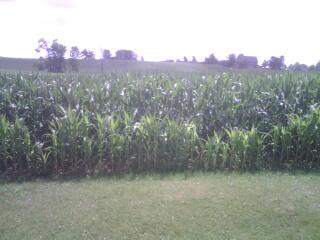 potash deficient corn