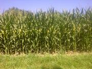 Corn 02 - Delaware ON - July 26