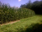 Corn 03 - Delaware ON - July 26