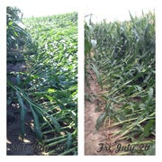 Before-after corn
