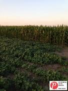 Illinois Corn&Soy 1