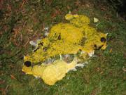 Wild slime molds