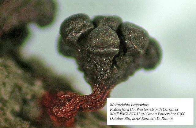 0004 Metatrichia vesparium