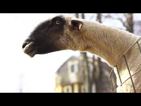 Goats Yelling Like Humans