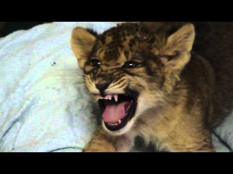 O rugido do leão