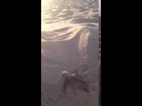 Sea Turtle Loggerhead Hatching Part II